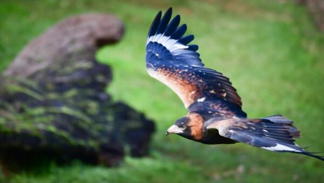 Andean condor on a rock