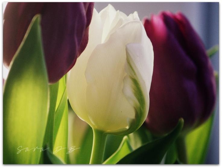 tulips, tulppaanit