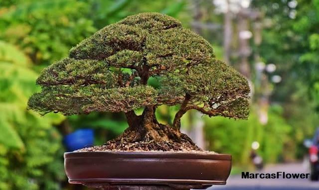 Adalah suatu hasil karya yang diciptakan memadukan tekhnik keindahan yang mewakilkan kead Membuat karya seni bonsai