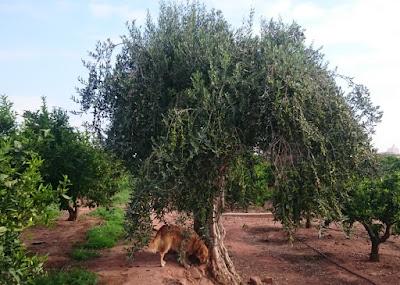 Olivträd. Ger årlig utdelning.