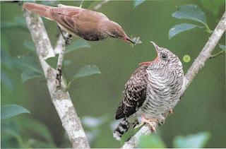 Suara Burung Uncuing