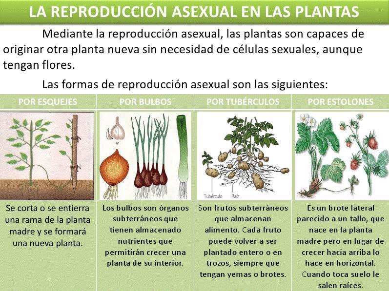 Reproduccion asexual en plantas ejemplos de sustantivos
