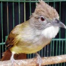 Download Mp3 Suara Burung Cucak Jenggot Gacor Nembak dan Juara