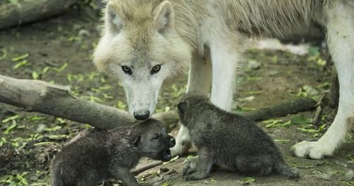 Into The Wild Quotes Wallpaper White Wolf Arctic Wolf Pups Can Howl With The Best Of