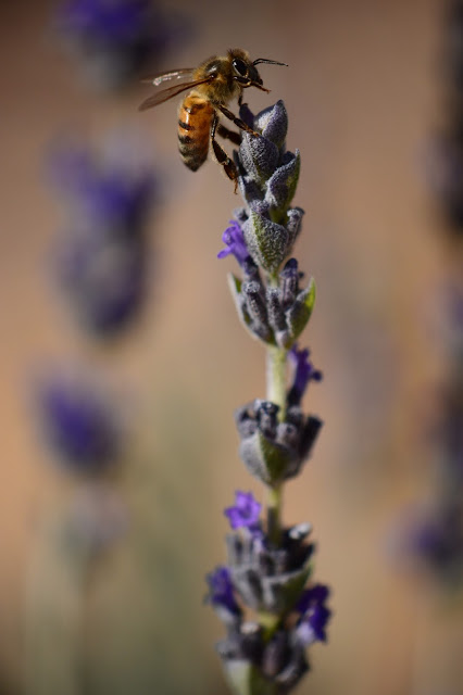 lavender, lavendula, goodwins creek gray, bee, photography, small sunny garden, desert garden, amy myers