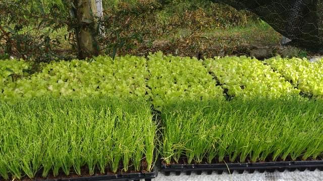 Horta Municipal da Ilha com plantio de novas oito mil mudas de alface e temperos