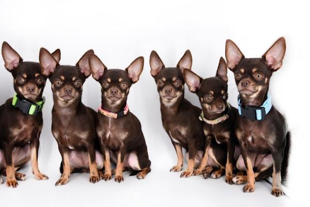 Milly Si Anjing Lucu yang Memiliki Kembaran Banyak di Dunia