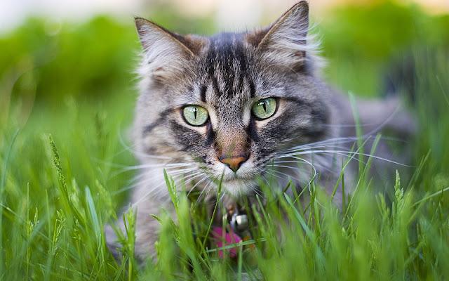 Grijze kat in het hoge gras