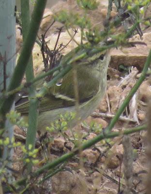 Mosquiter de doble ratlla (Phylloscopus inornatus)
