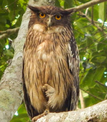 brown fish owl (Ketupa zeylonensis)
