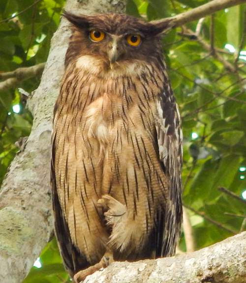 Brown fish owl images