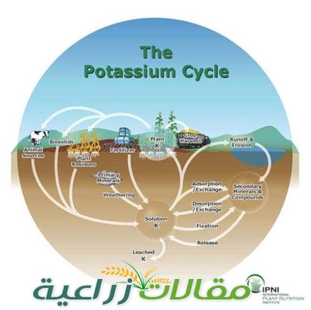 دور البوتاسيوم في النبات - سلسلة البوتاسيوم (1) - مقالات زراعية