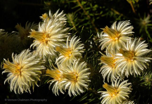 """""""Fireworks at Kirstenbosch"""" Flowers Kirstenbosch National Botanical Garden © Vernon Chalmers Photography"""