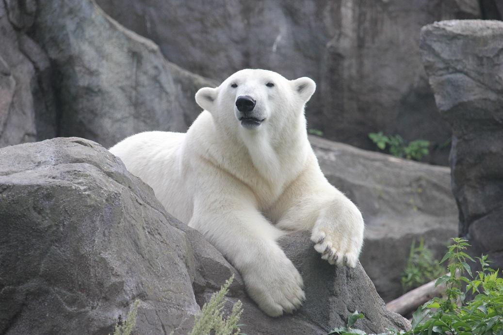 lední medvěd v zoologické zahradě Schönbrunn