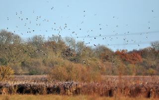 Some of the lapwing flock at Baker's Fen