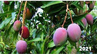 Miyazaki Mango Price In India