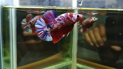 Gambar Ikan Cupang Hias Koi Galaxy