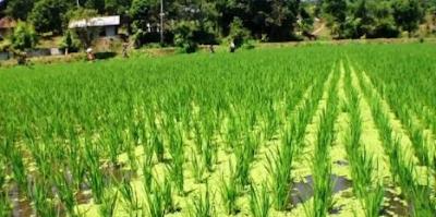 Manfaat Azolla untuk padi