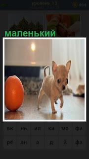по полу идет маленький щенок и рядом лежит мячик