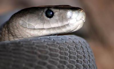 Black Mamba poisonus snake