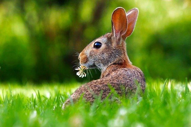 Cerita Singkat Tentang Hewan Peliharaan Kelinci