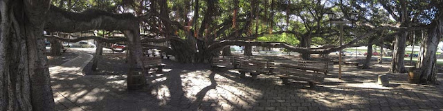 Panoramic Banyan.