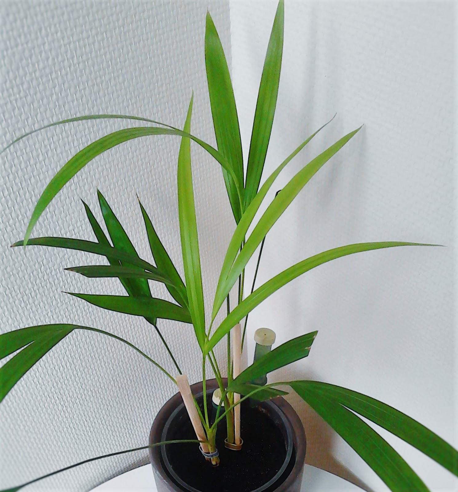 La ventana de javiruli plantas de interior 37 palmera for Palmeras de interior