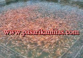 Jual Ikan Nila Merah Untuk Konsumsi