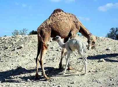 Foto de camello con su cría