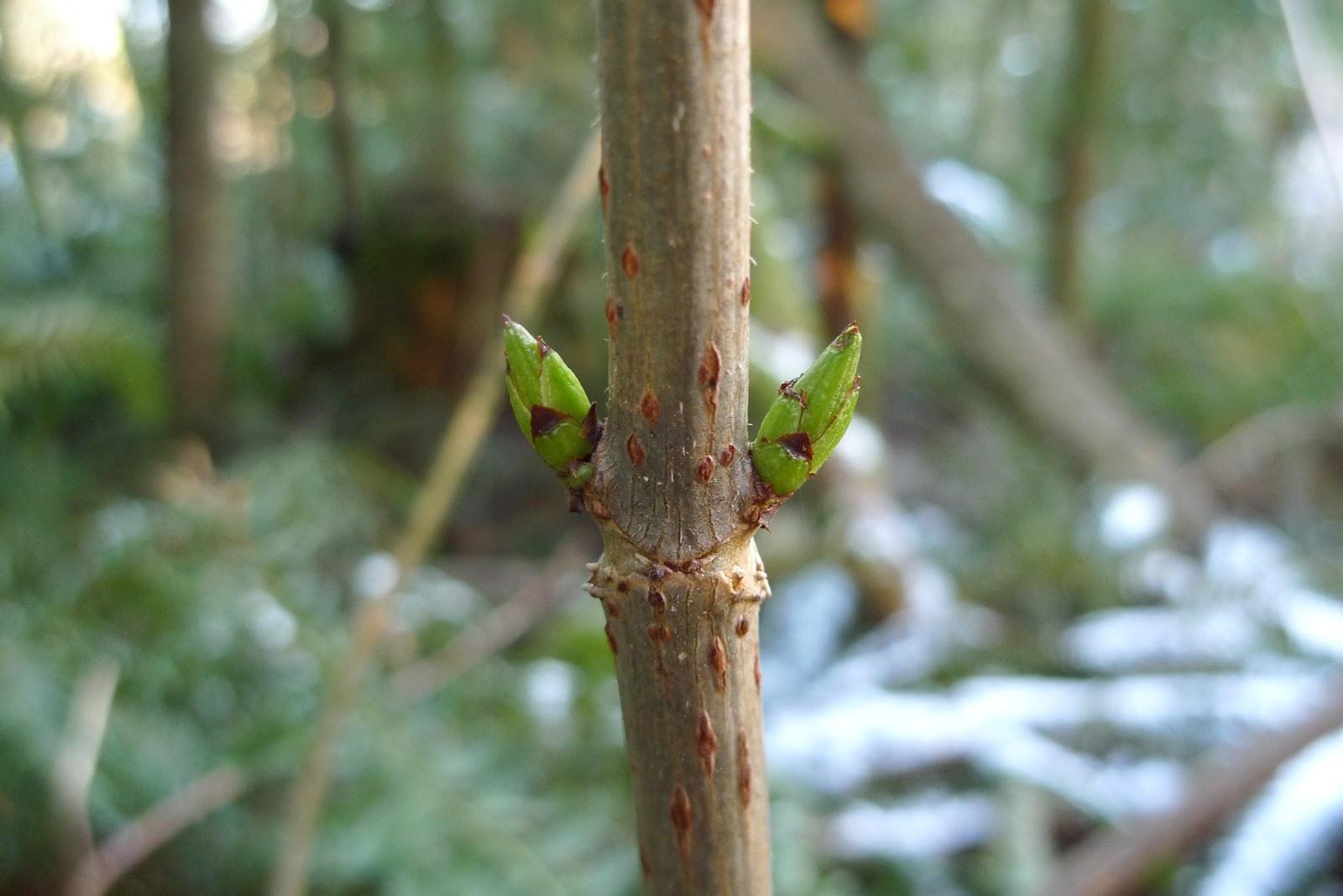 Wild Elderberry Bushes