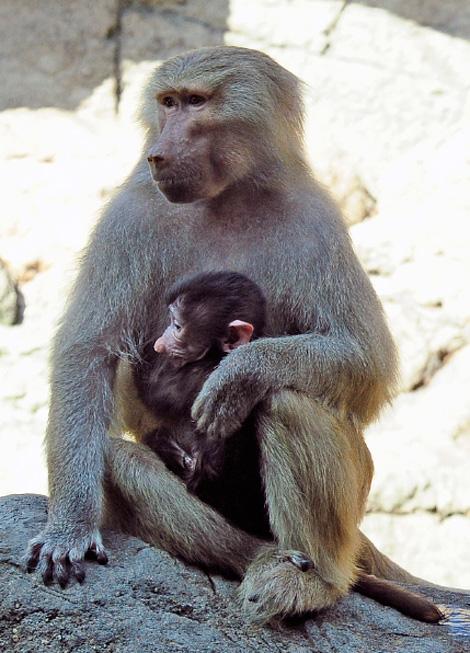 Baby Animals: Baboon infant 21