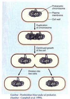 Reproduksi Bakteri Pembelahan Biner