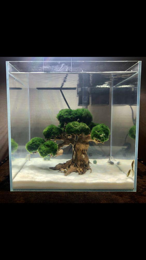 Quả cầu rêu moss ball được đặt lên cây bon sai trong hồ thủy sinh