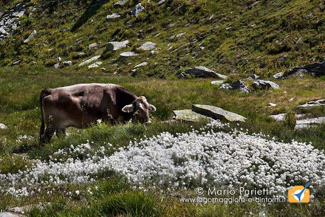 eriofori e mucca