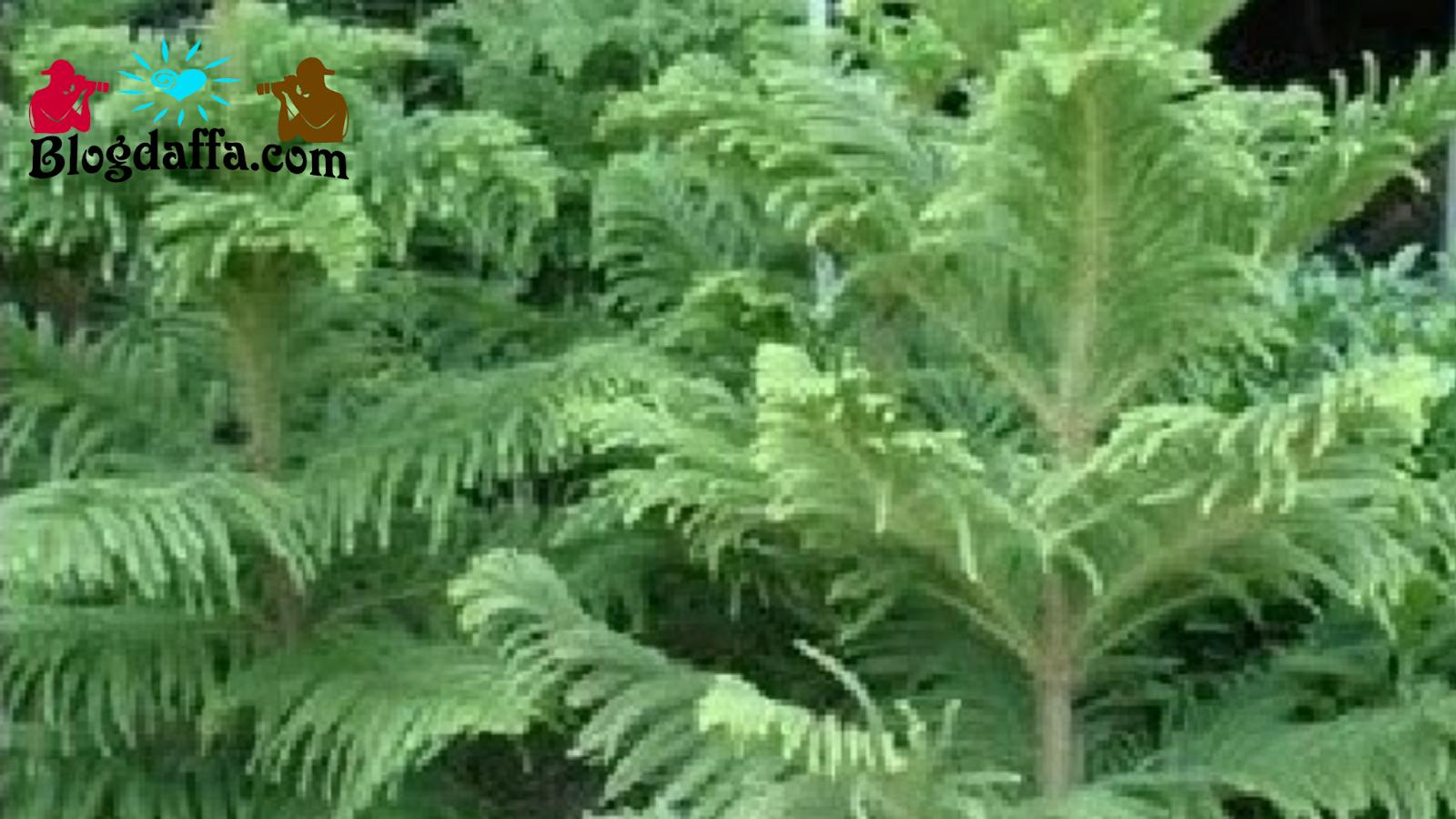 Cemara Norfolk tanaman hias tahan panas