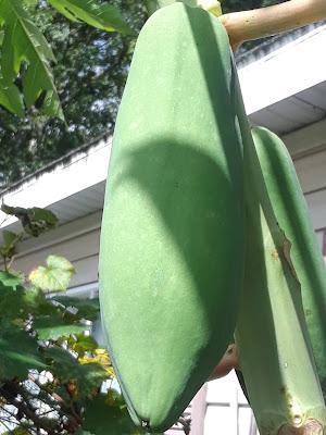 papaya on tree