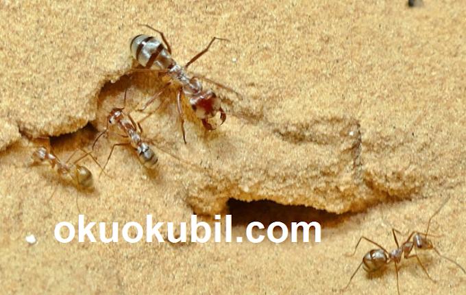 Dünyanın en hızlı karıncası Sahra Gümüşü