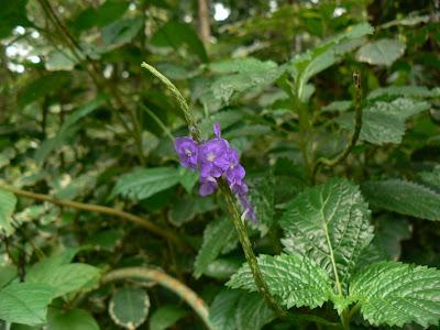 Gevão é medicinal da raiz às flores