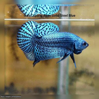 Ikan Cupang Alien Solid Steel Blue