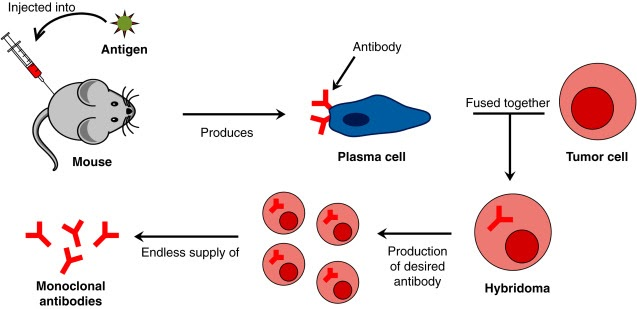 Monoclonal antibody diagnostic agents are a breakthrough in the field of diagnostic medical photography