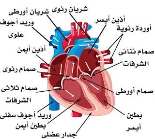 مسار الدورة الدموية وتشريح تفصيلي للقلب