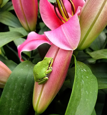 frogs on flower buds