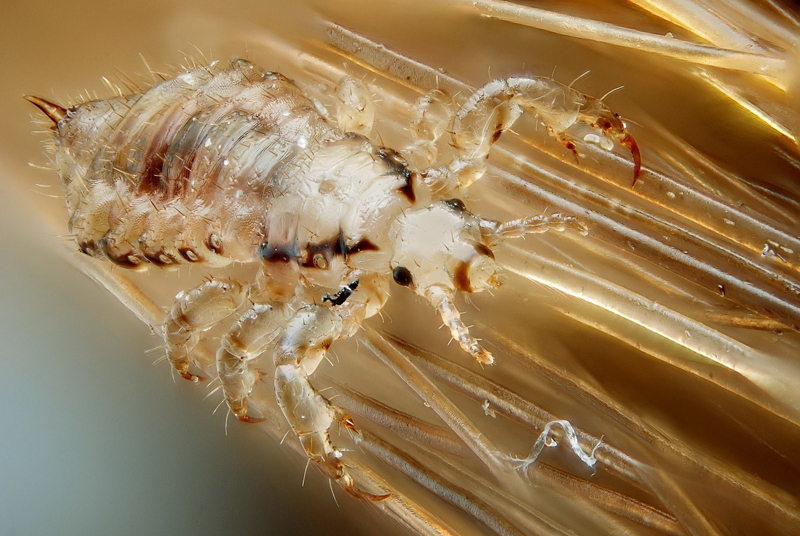 How Pubic Lice Can Spread to Your Eyelashes