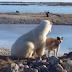 Όταν η πολική αρκούδα χάιδεψε τον σκύλο...