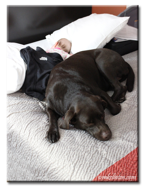 Chocolate Lab lying with baby