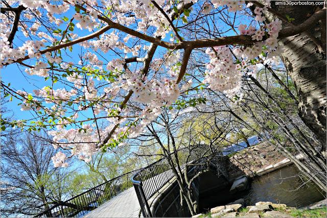 Cerezos Japoneses en Flor en la Esplanade de Boston