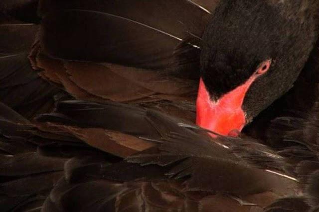 A COVID-19 é um Cisne Negro?