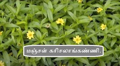 Sphagneticola calendulacea leaf_flower