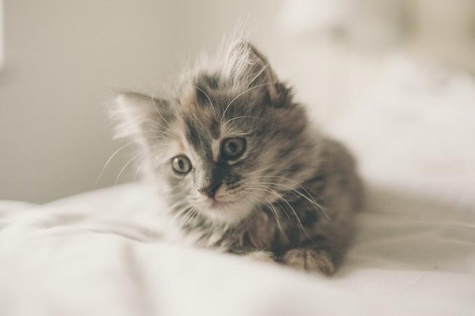 Pourquoi devrais-je faire stériliser mon chaton ?