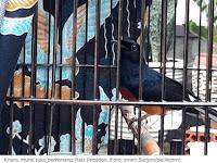 Burung Murai Kitaro yang Ditawar Jokowi